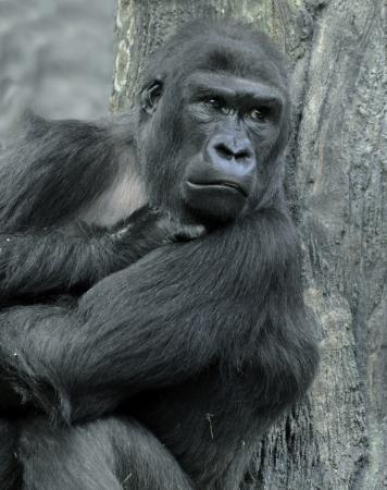 silverback: Gorilla Portrait