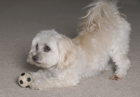 ballplayer: Maltipoo Puppy (12 Maltese 12 Toy Poodle) Playing With His Ball Stock Photo