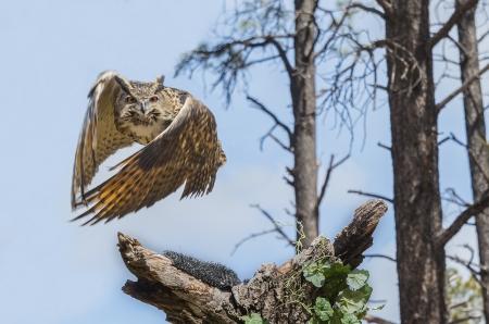 eurasian: Eurasian Eagle Owl In Flight