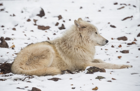 Alaskan Tundra Wolf Relaxing In The Snow