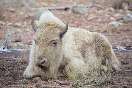 American White Bison