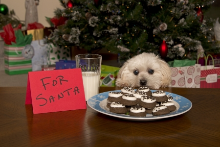 Maltipoo Puppy Checking Out Santa s Treat Stock Photo