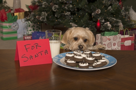 Morkie Puppy Checking Out Santa s Treat photo