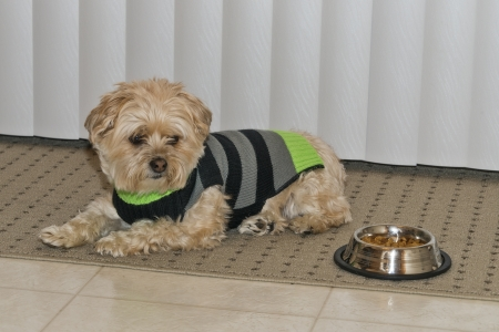 Morkie Puppy Guarding His Food Dish