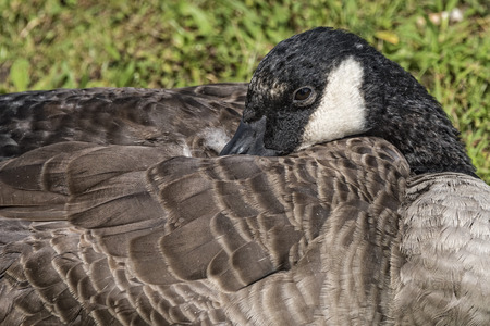 Close Up Of Canadian Goose Resting photo
