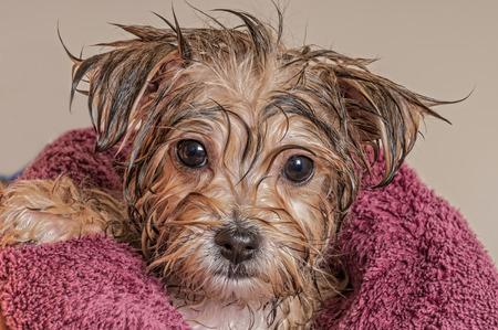 dog grooming: Morkie Puppy Getting Dry After His Bath