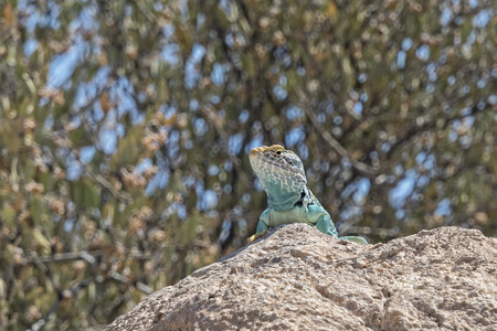 desert lizard: Lizard at the Arizona Sonara Desert Museum