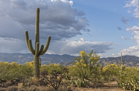 Landscape Of The Saguaro National Forest