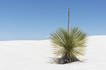 national plant: Yucca Plant At White Sands National Monument In New Mexico