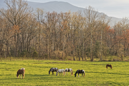 great smoky mountains national park: Horses Grazing At Sunset At Cades Cove In The Smoky Mountain National Park