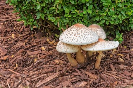 reddening: Reddening Lepiota - Mushrooms Growing In Mulch Garden
