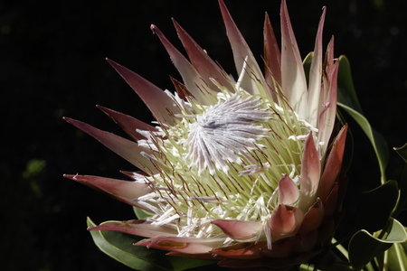 King Protea (protea cynaroides) flower head in full bloom, Bettys bay, South Africa Stock Photo