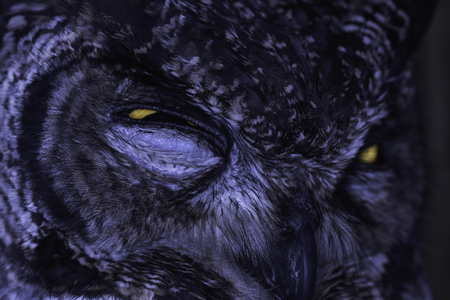 Spotted Eagle-Owl (bubo africanus) Serious Glare Close-up