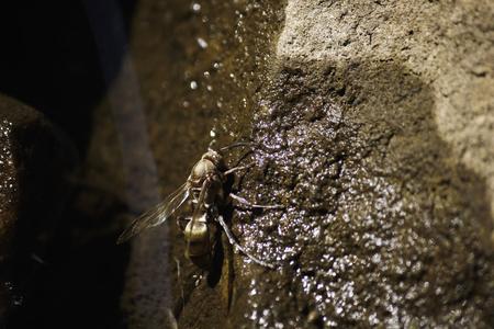 Golden Hornet (vespa sp.) Drinking From A Wet Rock Face