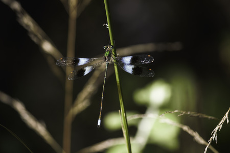 Mountain Malachite Damselfly (chlorolestes fasciatus) Hanging On To A Grass Stem