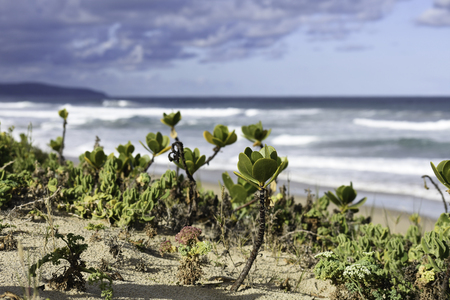 Towering Beachberry (scaevola plumieri) Stems On Beach Dune With A Stormy Ocean Shore Horizon In The Distance Standard-Bild