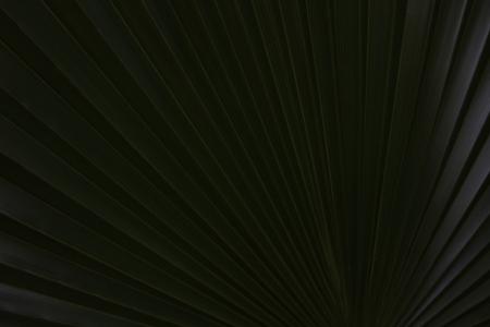 Radiating Lines On An African Fan Palm (borassus sambiranensis) Leaf Stock Photo