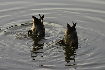 Pair Of Mud-grazing Yellow-billed Ducks (anas undulata)