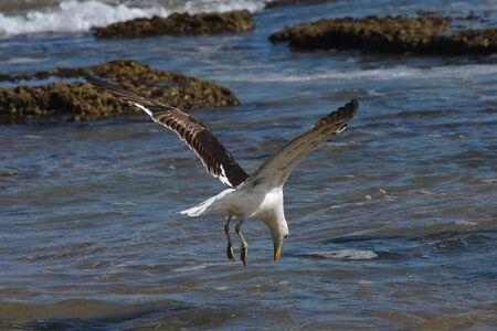 Kelp Gull Diving Towards Seawater (Larus dominicanus), Mossel Bay, South Africa