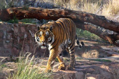 Frustrated Bengal Tiger In Captivity (Panthera tigris tigris)