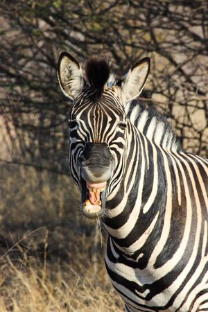 Expressive African Plains Zebra (Equus quagga), Limpopo, South Africa