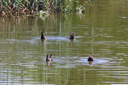 Four Yellow-billed Ducks Feeding In A Lake (Anas undulata), Pretoria, South Africa