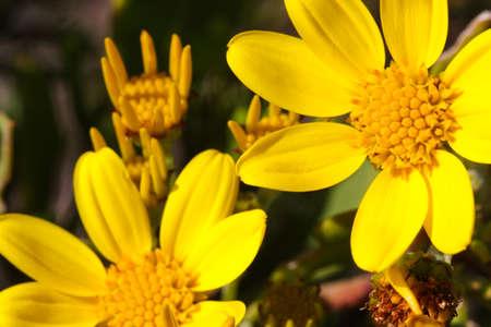 Beautiful view of bright yellow sea ragwort flowers