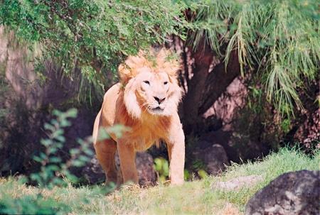 patrolling: Male lion patrolling territory Stock Photo