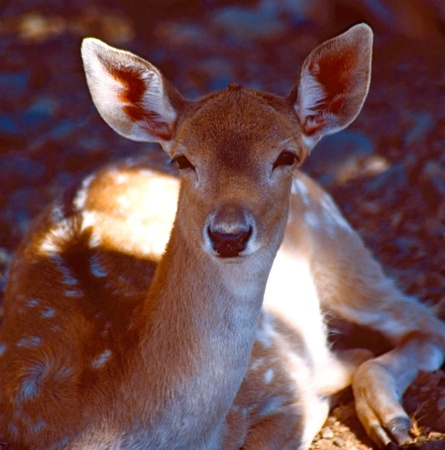 Deer with spots laying down with attentive look Imagens