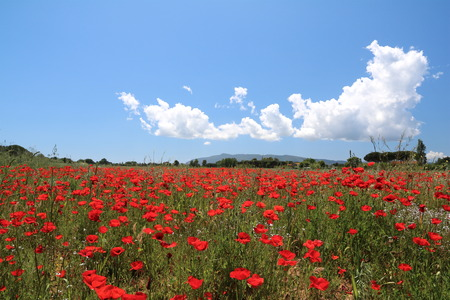 Maremma Toscana, meadow of red poppies in spring