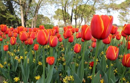 Park of tulips in spring flower