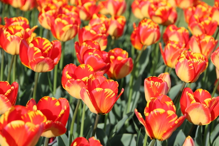variegated orange and yellow Tulips in spring