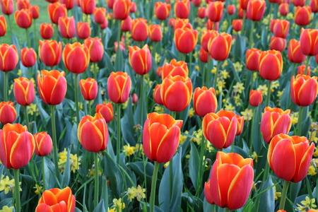 Tulipani in arancio fiorito Archivio Fotografico - 77580236