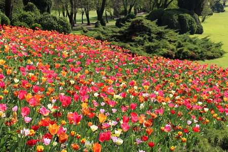 Meadow Tulips and daffodils in spring Imagens