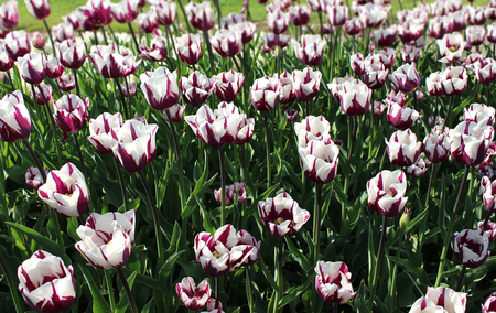 Garden of tulips in bloom