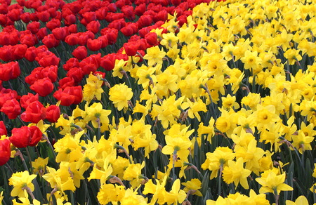 Prato of red tulips and yellow daffodils Imagens