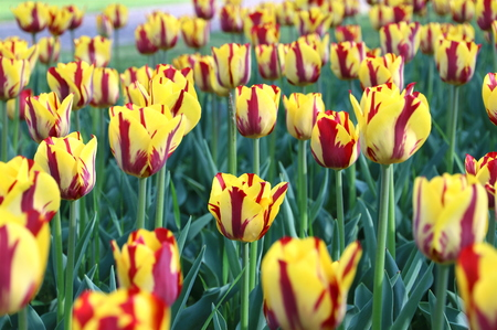 Spring garden of yellow and red tulips in flower bed Imagens