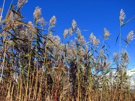 gently: Fronds of grass gently swaying on a warm summers days