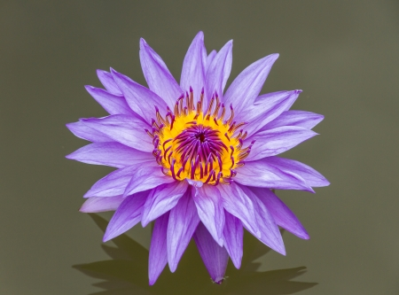 lightsome: The lotus color purple. Stock Photo
