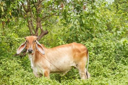 bullock animal: The cow eating grass at farm.