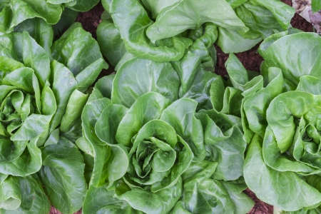 rosy cheeked: The lettuce for cooking food