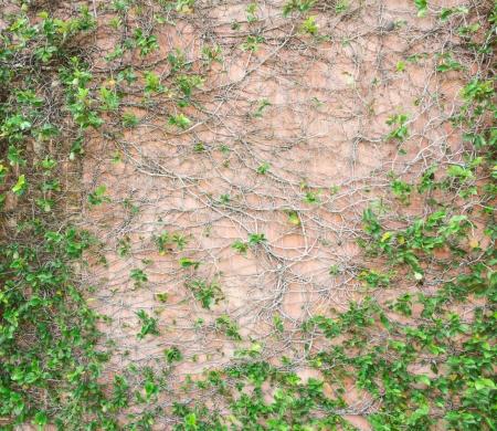 creeping: La pianta strisciante � una bella Archivio Fotografico