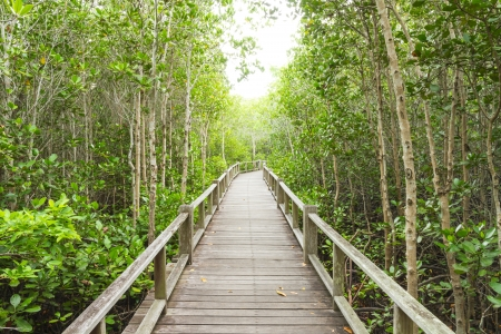 The forest mangrove at Petchaburi, Thailand  photo