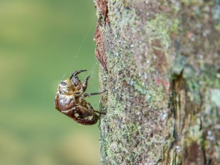 The carcass cicada adhesion on tree