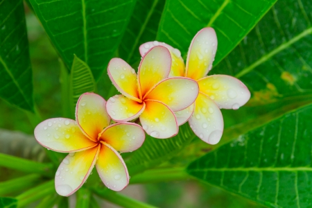 Tree Plumeria flower for design and decorate room or spa  photo