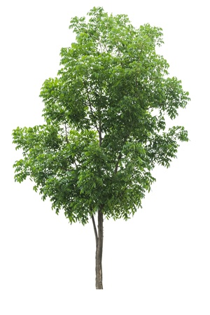 The single tree on isolate background for decorate garden Imagens - 21056786