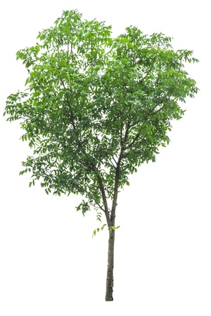 The single tree on isolate background for decorate garden