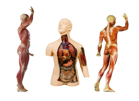 visceral: Human anatomy mannequin on white isolate background Stock Photo