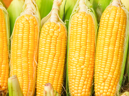 yellow corn: Grains of ripe corn of food on background. Stock Photo