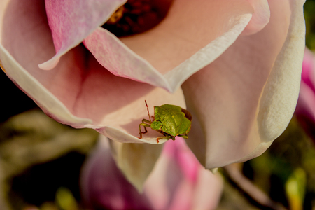 The green shield bug basking in the spring sun on the flower of magnolia.